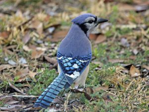 Blue-Jay - interesting facts about blue jays