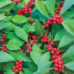 Winter berry bush