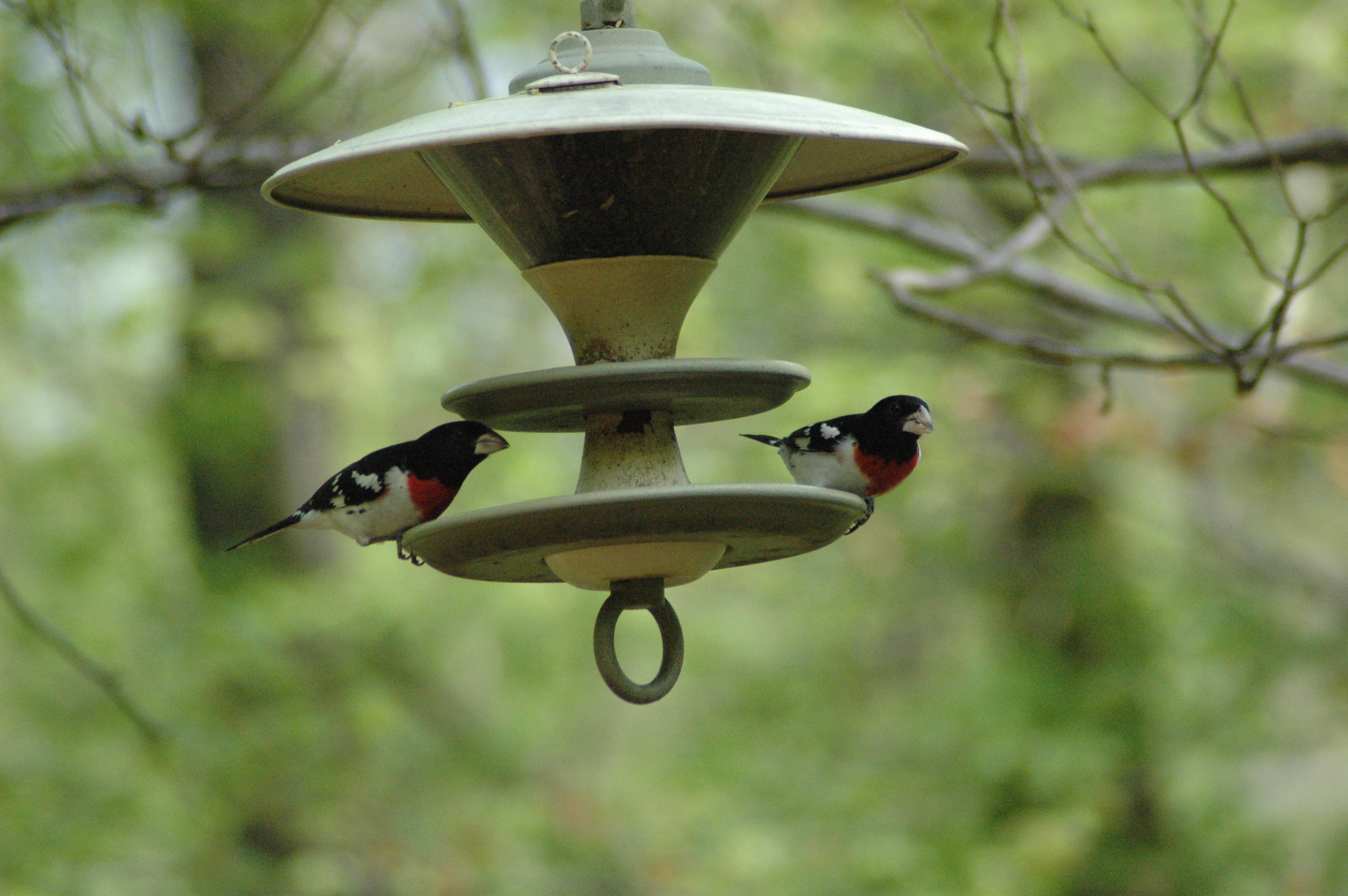 Rose-breasted grosbeaks at feeder - Should you feed birds in summer
