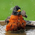 american robin - what is for the birds