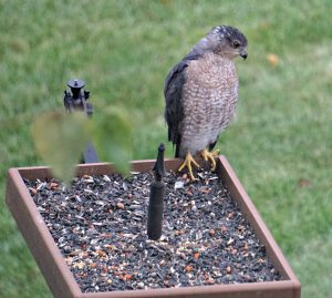 cooper's hawk at feeder - raptors birds of prey
