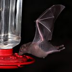 long nosed bat at hummingbird feeder - who drank the hummingbird juice