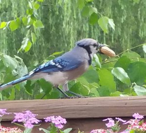 blue jay with peanut - do blackbirds migrate