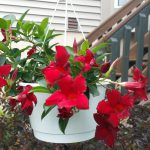 mandevilla - landscaping for birds