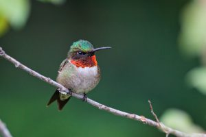ruby-throated hummingbird - ruby-throated hummingbird migration time