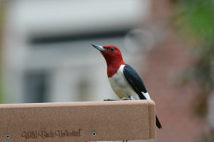 red headed woodpecker - red bellied woodpecker facts