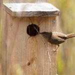 Wren Nesting Box