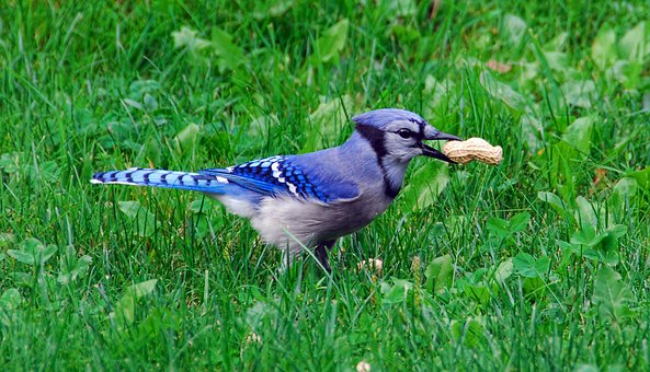 blue jay - blue jay facts you may not know