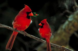 northern cardinal - northern cardinal bird
