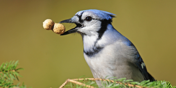 facts about blue jays you may not know