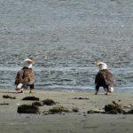 Bald eagles at Lost Bridge