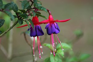 fuchsia - top 10 flowers that attract hummingbirds and butterflies
