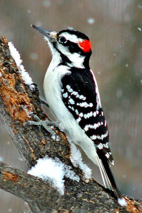 hairy woodpecker - why do woodpeckers peck on houses