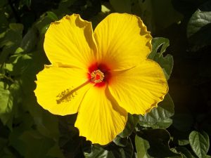 yellow hibiscus - flowers that attract hummingbirds