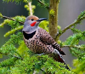 northern flicker - red bellied woodpecker facts