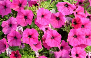 petunias - top 10 flowers that attract butterflies and hummingbirds