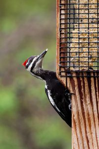 pileated woodpecker - red bellied woodpecker facts