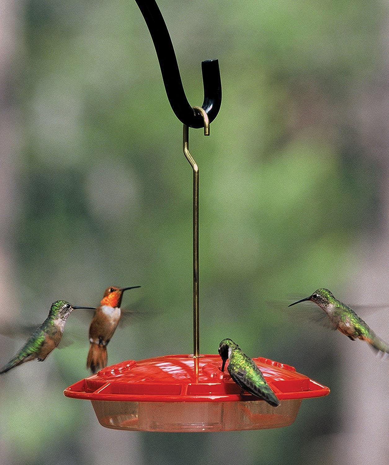 hummingbirds at feeder - when do hummingbirds migrate south