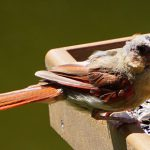 molting cardinal - northern cardinal bird