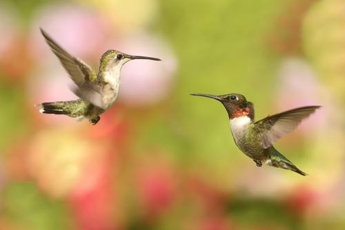 Ruby-throated hummingbirds
