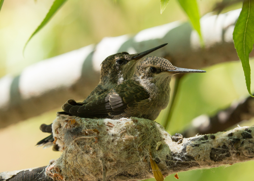 hummingbirds on a nest