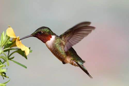 hummingbird - when do hummingbirds migrate south