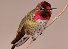 anna's hummingbird - 10 interesting facts about hummingbirds