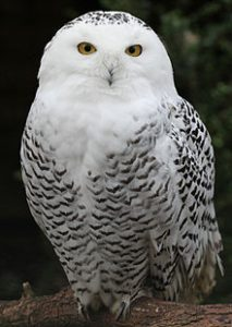 snowy-owl Owls of North America