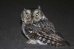 whiskered screech owl - owls of north america