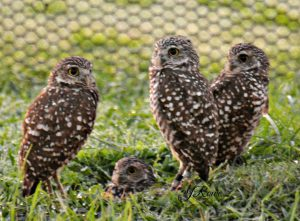 Burrowing Owls Owls of North America