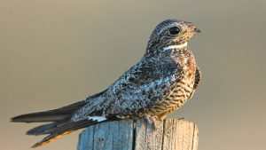common nighthawk - when do birds fly south
