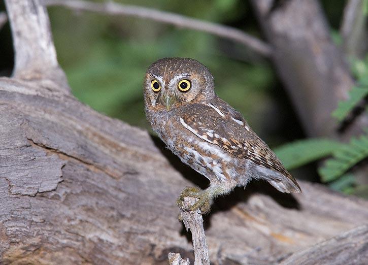 elf owl - owls of north america