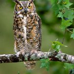great-horned-owl Owls of North AMerica