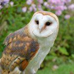 barn-owl Owls of North America