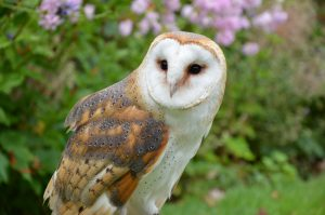 barn-owl Owls of North America