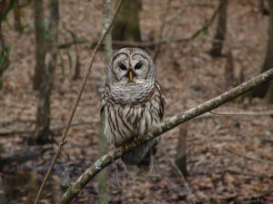 Barred-owl Owls of North America