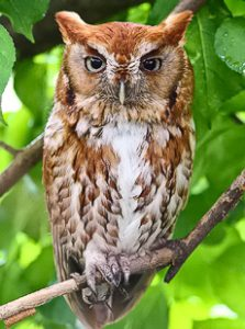 eastern screech owl -owls of north america