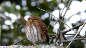 ferruginous pygmy owl - owls of north america