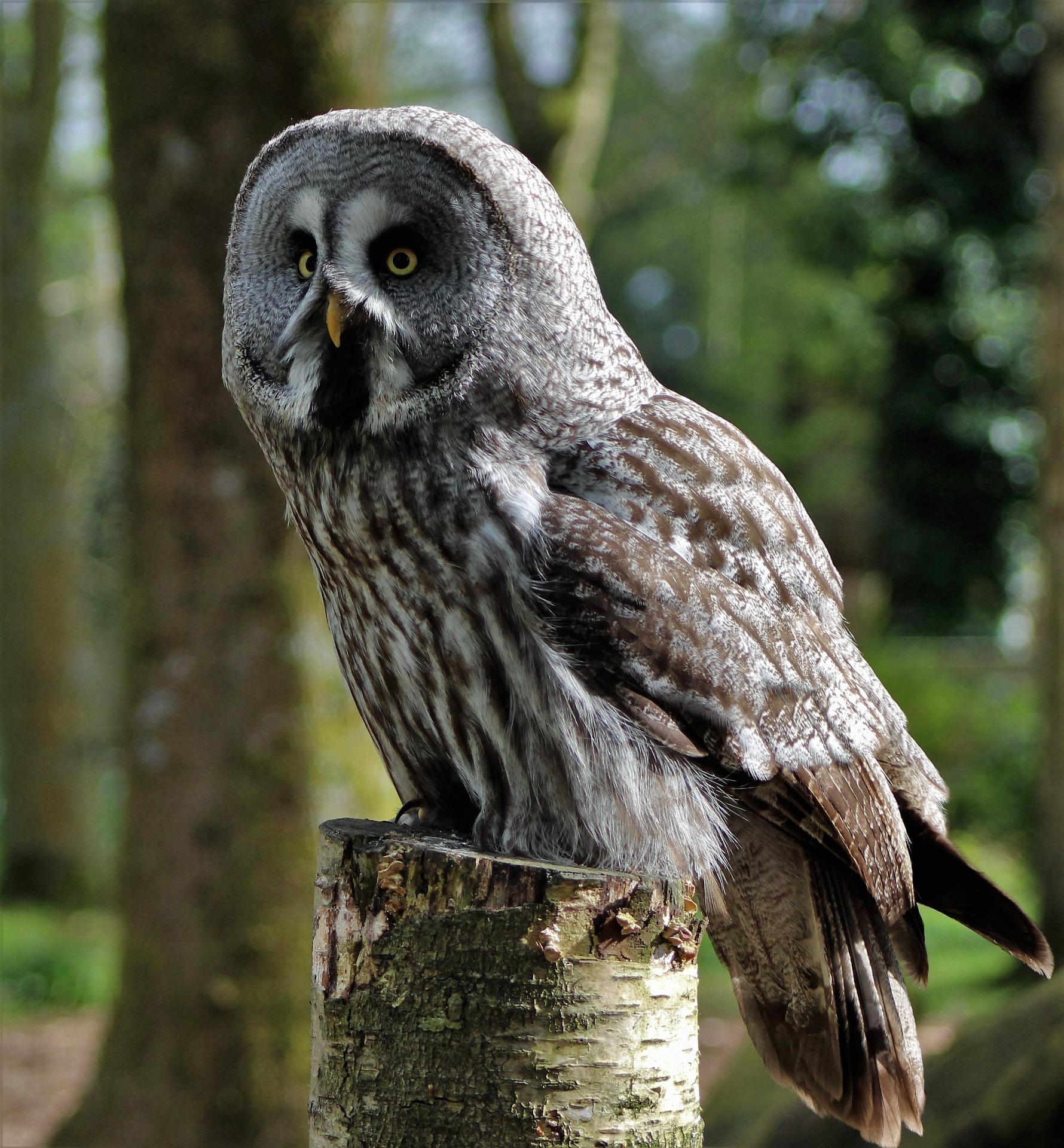 Great-Grey-Owl Owls of North America