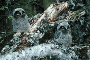 northern-hawk-owl Owls of North America