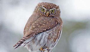 northern pygmy owl - owls of north america