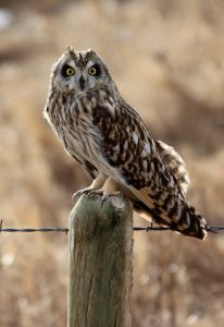 short-eared-owl Owls of North America