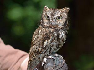 western screech owl-owls of north america