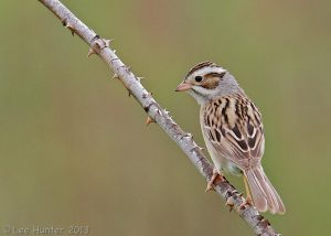 clay colored sparrow - facts about sparrows