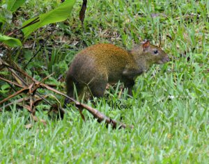 Agouti - Birding in Belize