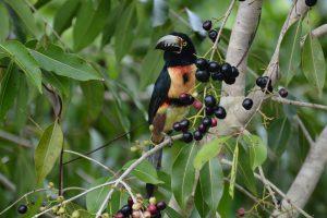 Aracari- birding belize