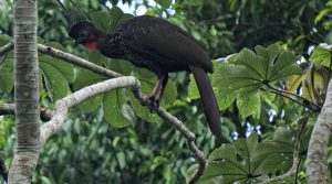 crested guan - birding belize the jungle