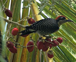 black cheeked woodpecker - birding belize the jungle
