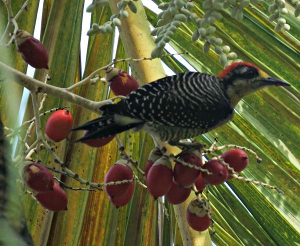 black cheeked woodpecker - birding belize the jungle