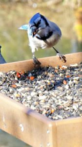 blue jay - backyard birdwatching